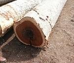 batang kayu merbau